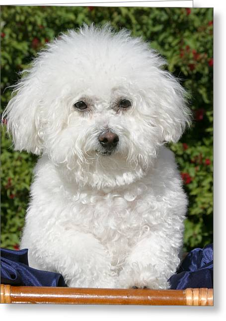 Fifi The Bichon Frise Greeting Cards - Fifi the Bichon  Greeting Card by Michael Ledray