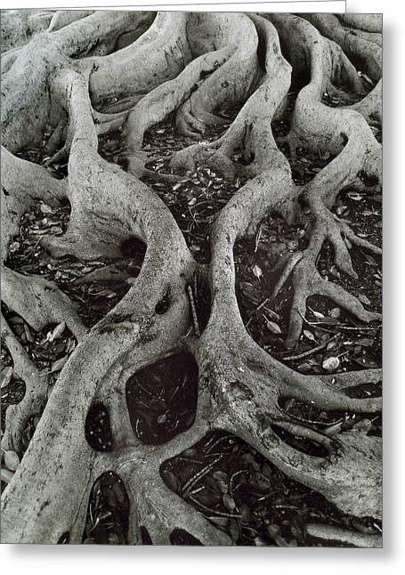 Tree Roots Greeting Cards - Fig Tree Roots Greeting Card by John Gilroy