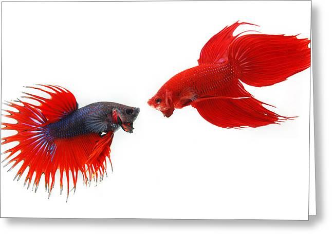 Fighting Fish Greeting Card by Kritiya Sumpun