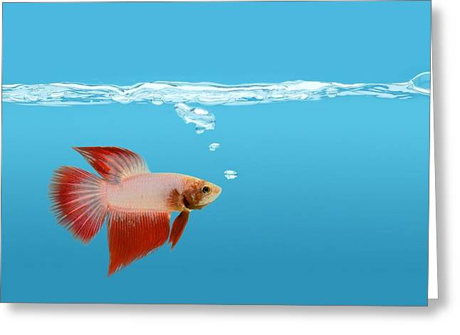 Betta Greeting Cards - Fighting Fish Under Water Greeting Card by Don Hammond