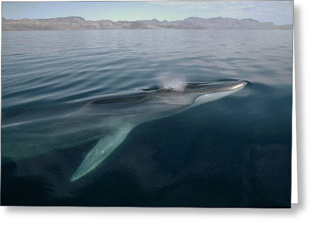 Razorbacks Photographs Greeting Cards - Fin Whale Balaenoptera Physalus Greeting Card by Flip Nicklin