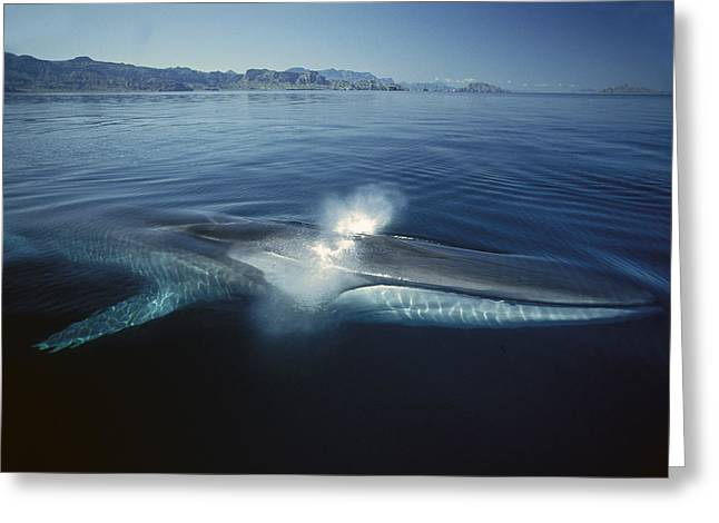Razorbacks Photographs Greeting Cards - Fin Whale Balaenoptera Physalus Greeting Card by Tui De Roy