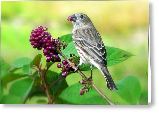 Finch Eating Beautyberry Greeting Card by Peg Urban