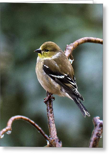 Wild Orchards Greeting Cards - Finch in an Ice Storm Greeting Card by LeeAnn McLaneGoetz McLaneGoetzStudioLLCcom
