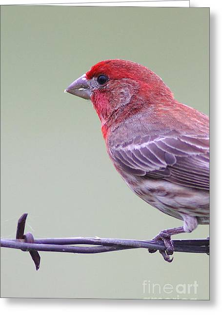 Finch On Fence Greeting Card by Robert Frederick