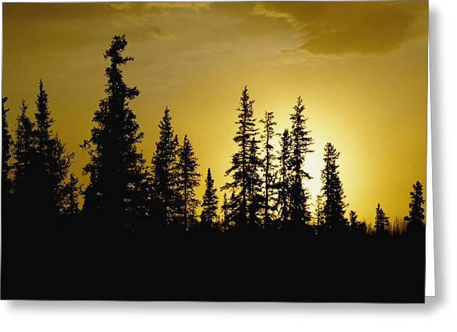 Fir Trees Greeting Cards - Fir Trees Silhouetted In Early Morning Greeting Card by George F. Mobley