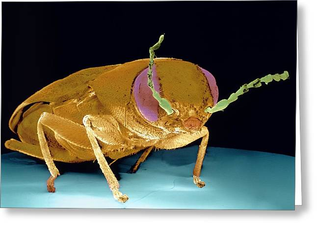 Detect Greeting Cards - Fire-detecting Beetle Greeting Card by Volker Steger