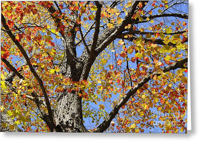 Purchase Greeting Cards - Fire Maple Greeting Card by Luke Moore