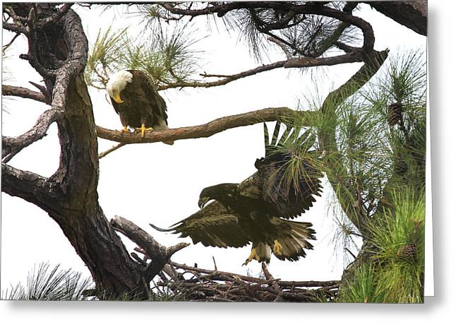 Eaglet Greeting Cards - First Flight Greeting Card by Joseph G Holland