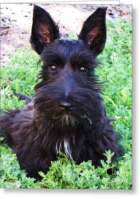 Scottish Terrier Puppy Greeting Cards - First Hair Cut and Looking Good Greeting Card by Michele Penner