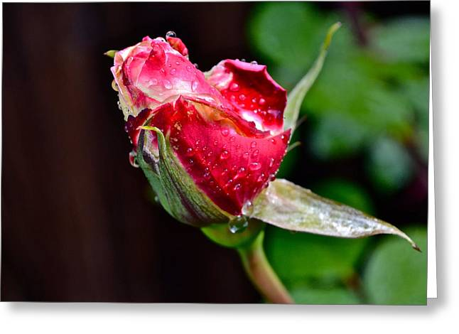 First Rose Greeting Card by Bill Owen