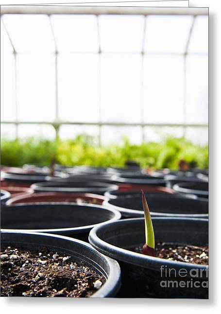 Controlled Environment Greeting Cards - First Sprout Rises From A Potted Plant Greeting Card by Thom Gourley/Flatbread Images, LLC