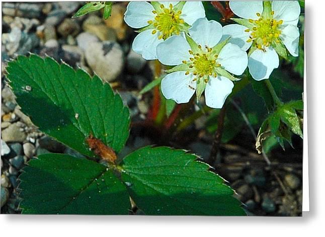 Wild Orchards Greeting Cards - First Wild Strawberry Blossom Greeting Card by LeeAnn McLaneGoetz McLaneGoetzStudioLLCcom