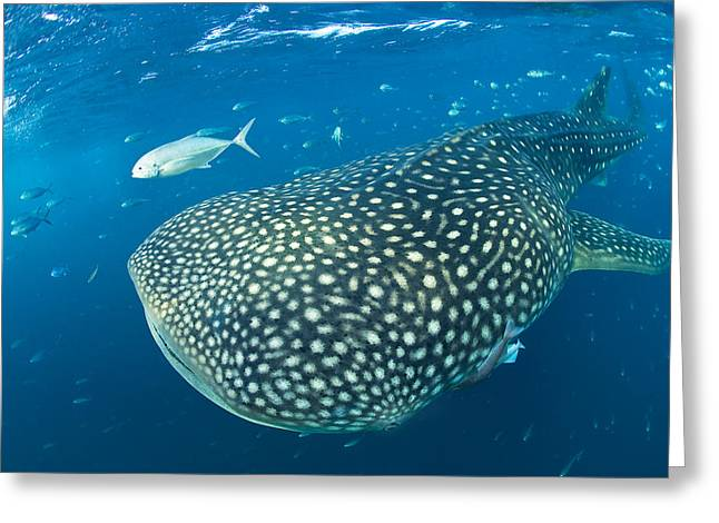 Fish Following A Whale Shark Greeting Card by Paul Nicklen