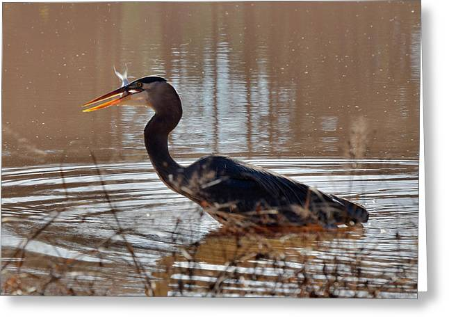 Heron Greeting Cards - Fish for Lunch - c3206e Greeting Card by Paul Lyndon Phillips