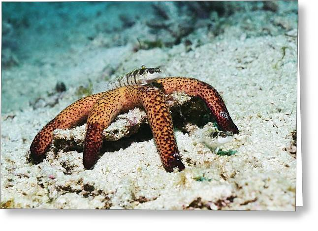 Indonesian Wildlife Greeting Cards - Fish On A Starfish Greeting Card by Georgette Douwma