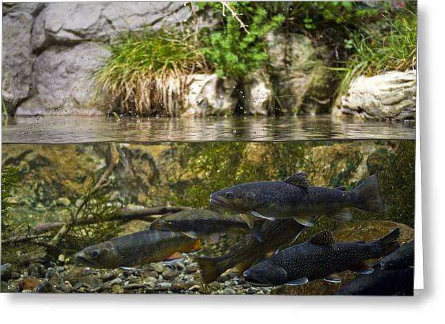 Brook Trout Image Greeting Cards - Fish Swimming In An Aquarium Greeting Card by Todd Gipstein