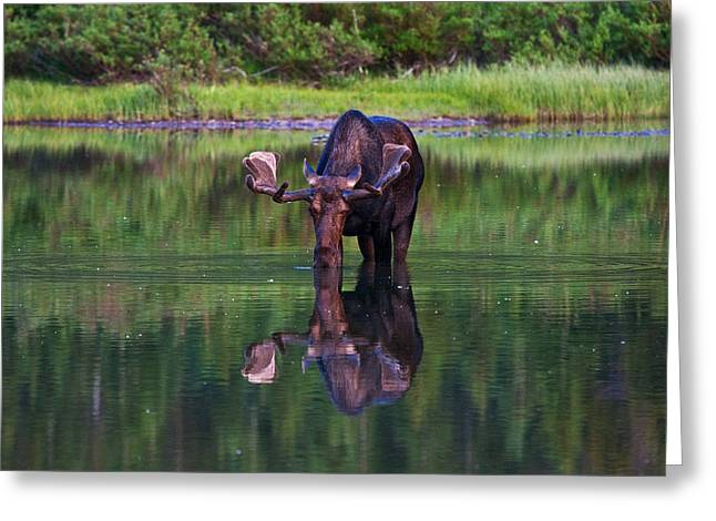 Alces Alces Greeting Cards - Fishercap Bull Greeting Card by Mark Kiver