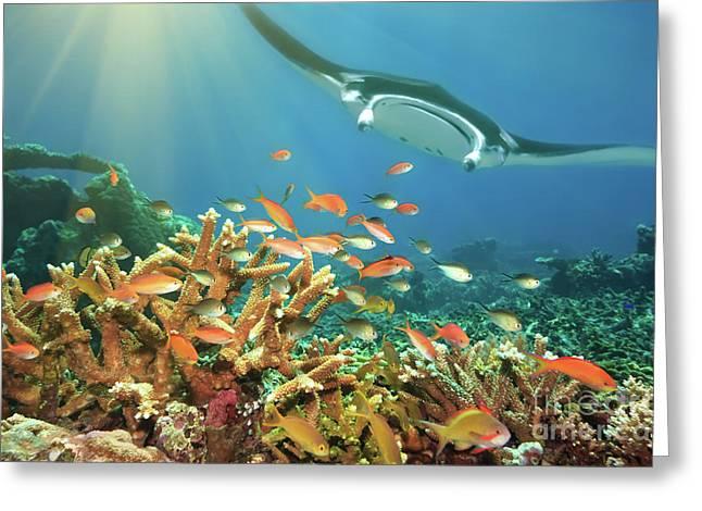 Sipadan Greeting Cards - Fishes and manta ray Greeting Card by MotHaiBaPhoto Prints