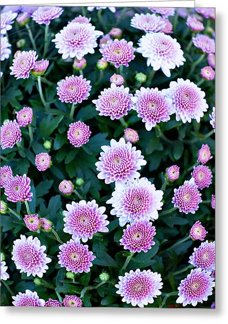 Sunflower Patch Greeting Cards - Fisheye of Pink Flowers Greeting Card by Malania Hammer
