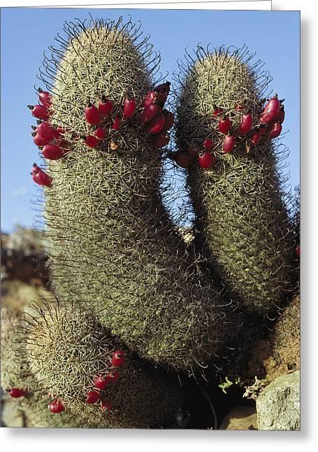 Fishhook Greeting Cards - Fishhook Cactus Mammillaria Sp Blooming Greeting Card by Tui De Roy