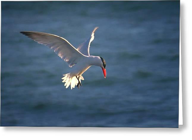 Tern Greeting Cards - Fishing Tern Greeting Card by Albert Seger