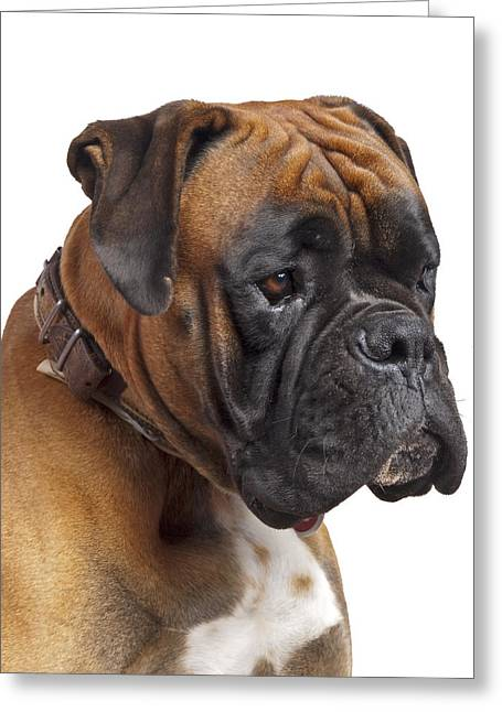 Boxer Greeting Cards - Fitz Greeting Card by Kenton Smith