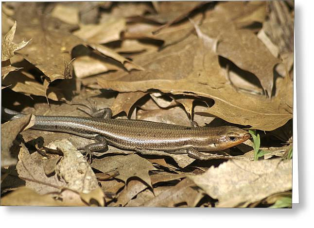 Cold Blooded Greeting Cards - Five Line Skink Greeting Card by Michael Peychich