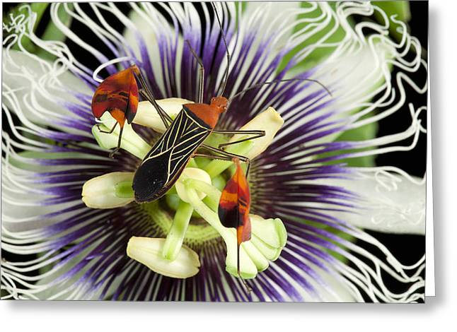 Passionflower Photographs Greeting Cards - Flag-footed Bug Anisocelis Flavolineata Greeting Card by Christian Ziegler