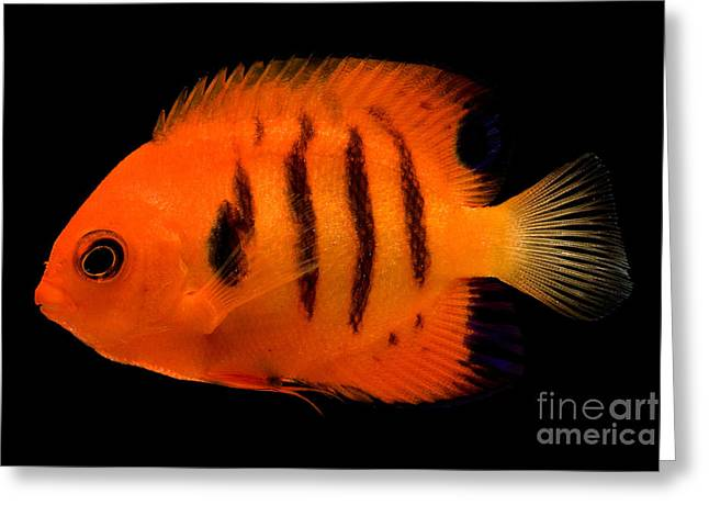 Reef Fish Greeting Cards - Flame Angelfish Greeting Card by Dante Fenolio
