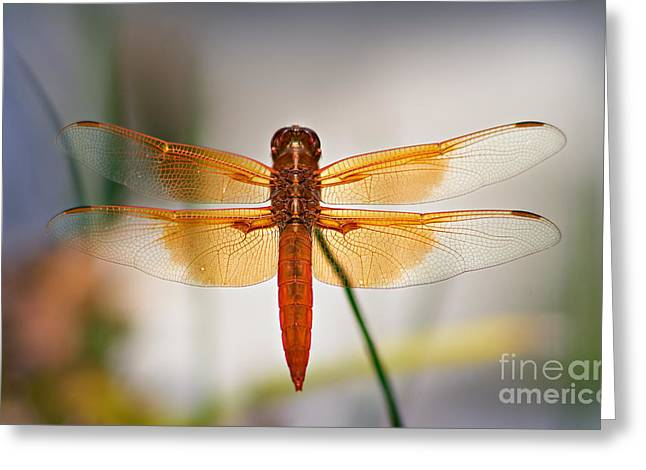 Odonata Greeting Cards - Flame Skimmer Dragonfly Greeting Card by Susan Isakson