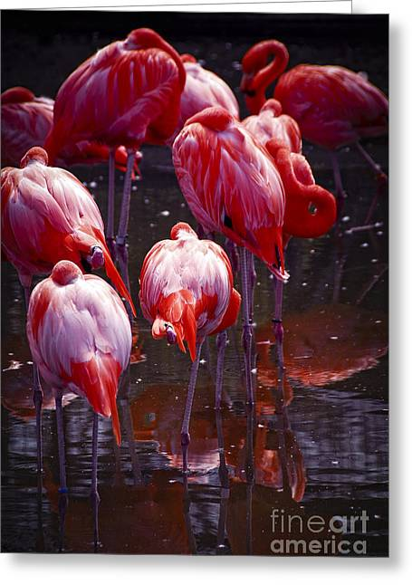 Flamingo Greeting Cards - Flamingo Greeting Card by Elena Elisseeva