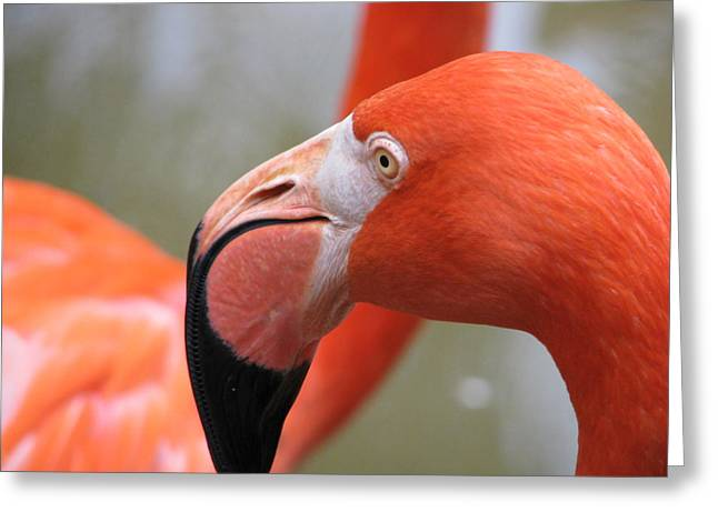Flamingo Greeting Cards - Flamingo Folly Greeting Card by Staci-Jill Burnley