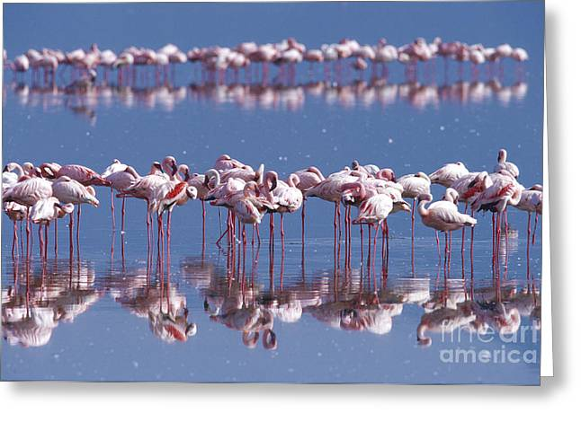 Greater Flamingo Greeting Cards - Flamingo Reflection - Lake Nakuru Greeting Card by Sandra Bronstein