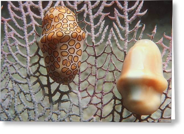 Shell Pattern Greeting Cards - Flamingo Tongue Snails Greeting Card by Georgette Douwma