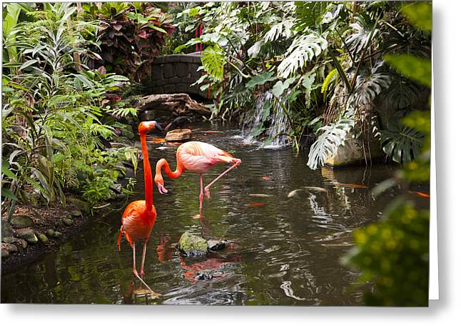Exoticism Greeting Cards - Flamingos Wades In Shallow Water Greeting Card by Taylor S. Kennedy