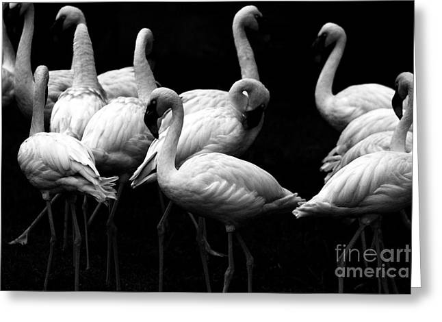 Pink Flamingo Nature Photo Greeting Cards - Flamingos Greeting Card by Wingsdomain Art and Photography