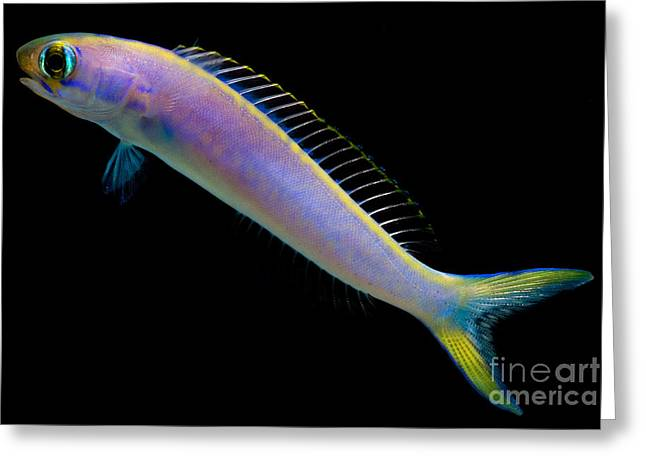 Reef Fish Greeting Cards - Flashing Tilefish Greeting Card by Danté Fenolio