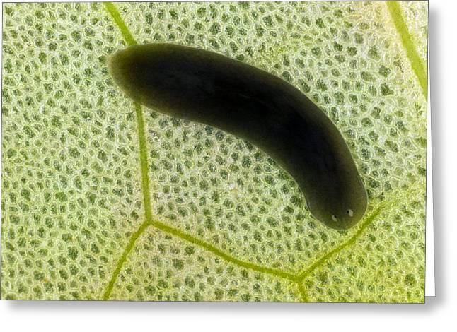 Nenuphar Greeting Cards - Flatworm On A Leaf Greeting Card by Dr Keith Wheeler