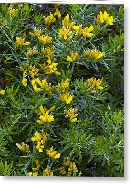 Dew Covered Flower Greeting Cards - Flax Broom (genista Linifolia) Greeting Card by Bob Gibbons