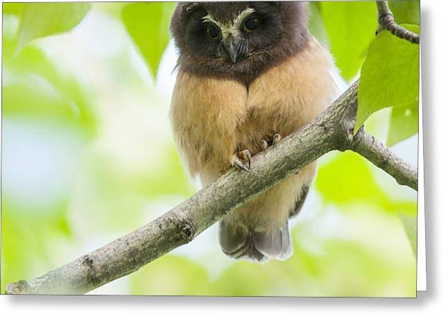 Fledgling Saw-whet Owl Greeting Card by Tim Grams