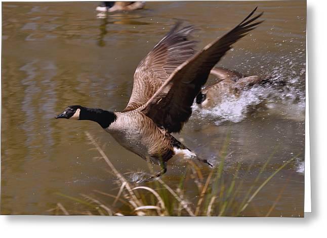 Paul Lyndon Phillips Greeting Cards - Fleeing Canada Goose - c4665c Greeting Card by Paul Lyndon Phillips