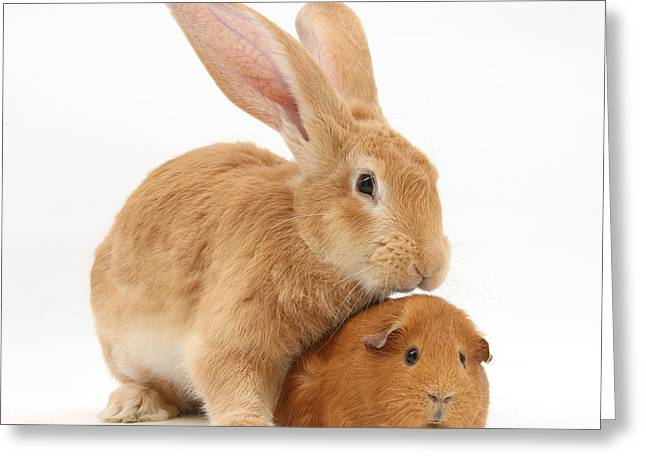 House Pet Greeting Cards - Flemish Giant Rabbit With Red Guinea Pig Greeting Card by Mark Taylor