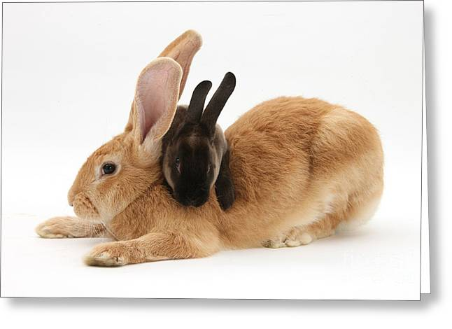 House Pet Greeting Cards - Flemish Giant Rabbit, With Sooty Rex Greeting Card by Mark Taylor