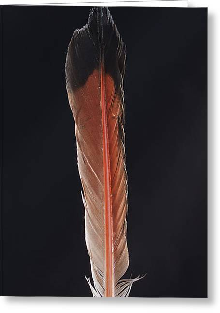 Flicker Greeting Cards - Flick of a Feather Greeting Card by Jean Noren