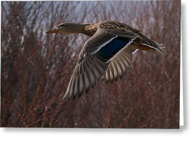 Montana Posters Greeting Cards - Flight is Beautiful Greeting Card by Kevin Bone
