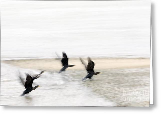 Startled Greeting Cards - Flight of the Cormorants Greeting Card by David Lade