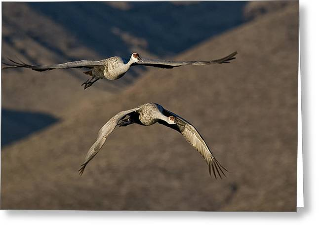 Sandhill Cranes Greeting Cards - Flight of the Cranes Greeting Card by Wade Aiken
