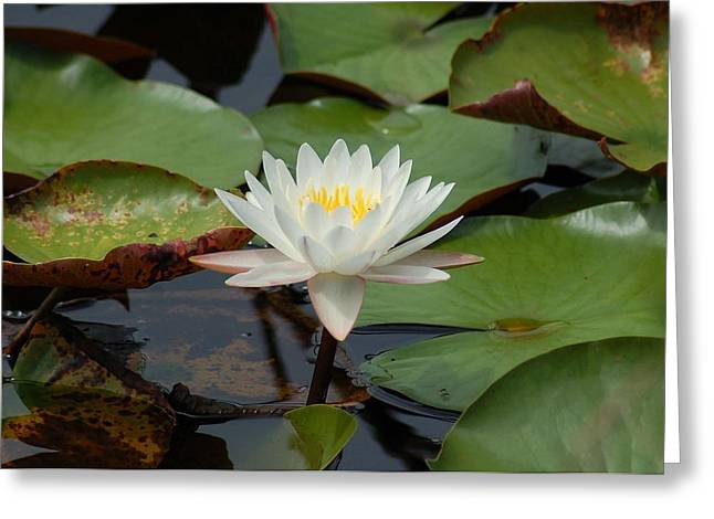 Crimson Tide Photographs Greeting Cards - Floating Water Lilly Greeting Card by Michael Thomas