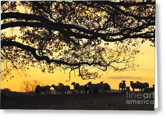 Appalachian Farm Greeting Cards - Flock at Sunrise Greeting Card by Thomas R Fletcher
